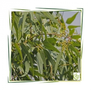 Äth. Eucalyptus Citriodoraöl 20 ml